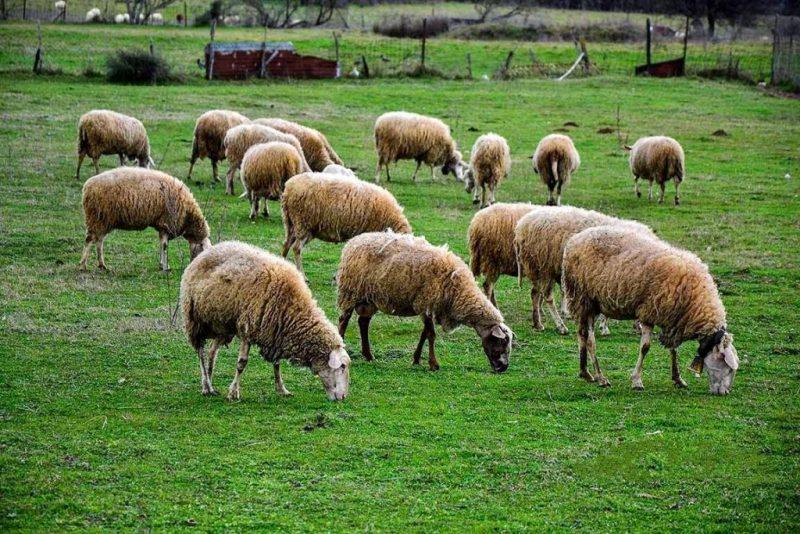 Νομοσχέδιο για την ενίσχυση της κτηνοτροφίας ετοιμάζει το υπουργείο Αγροτικής Ανάπτυξης