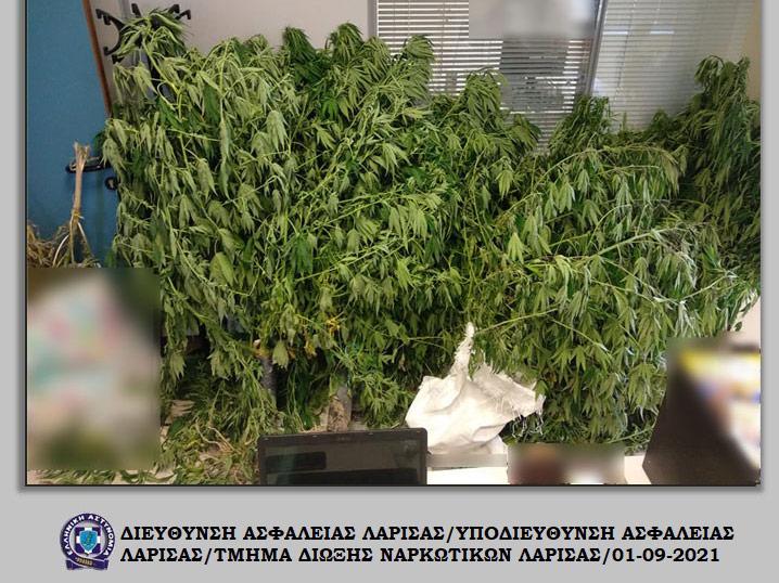 Σύλληψη έξω από τον Αμπελώνα, για παράνομη καλλιέργεια  κάνναβης